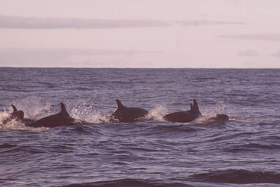 Elisabeth Mecklenburgs Sichtung falscher Killerwale