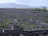 Weltkulturerbe: Die Weinfelder mit Lavamauern