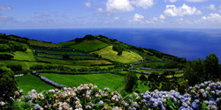 Hortensien auf Pico