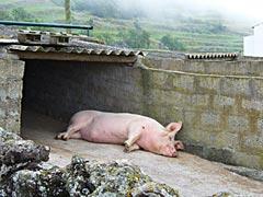 Glückliches Azorenschwein