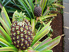 Ananas-Anbau auf Sao Miguel
