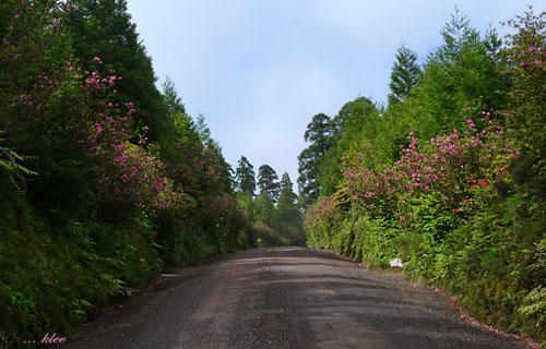 Azaleenblüte auf dem Weg zu den Lagoas Empadadas