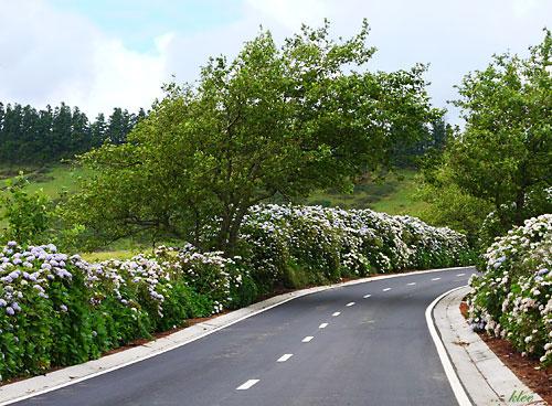 Terceiras Hortensienhecken im Sommer