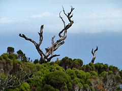 Pflanzenwelt der Azoren