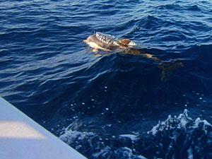 Delphin neben dem Boot