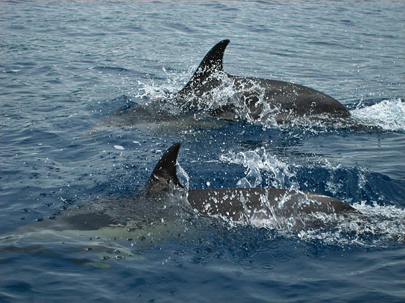 Gemeine Delfine vor Vila Franca do Campo