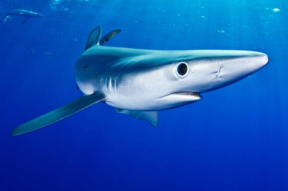 Haie vor den Azoren